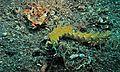 Sea Slug (Pteraeolidia ianthina) (6061874251).jpg