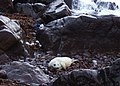 Seal pup near Gew-graze - geograph.org.uk - 1002681.jpg
