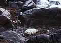 Seal pup near Gew-graze - geograph.org.uk - 1002681.jpg
