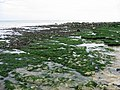 Seaweed covered chalk bedrock near Kingsdown - geograph.org.uk - 485477.jpg