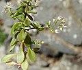 Sedum cepaea leaf (02).jpg