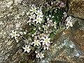 Sedum dasyphyllum (15154620541).jpg