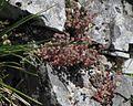 Sedum dasyphyllum PID1849-8.jpg
