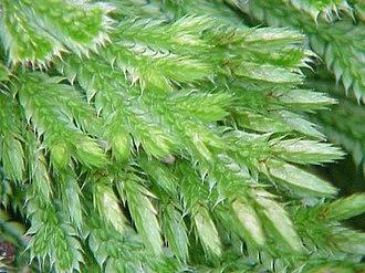 Strobilus - Image: Selaginella pilifera 0