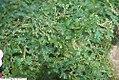 Selaginella uncinata 2zz.jpg