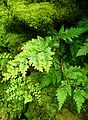 Selaginella uncinata kz1.jpg