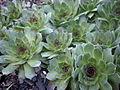 Sempervivum tectorum 1c.JPG
