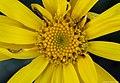 Senecio doronicum 2.jpg