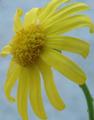 Senecio squalidus flor.png