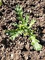 Senecio vulgaris 105704344.jpg