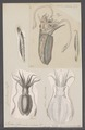 Sepia officinalis - - Print - Iconographia Zoologica - Special Collections University of Amsterdam - UBAINV0274 090 07 0003.tif