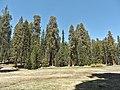 Sequoia P4250896.jpg