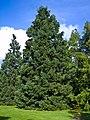 Sequoiadendron giganteum Marburg 003.jpg