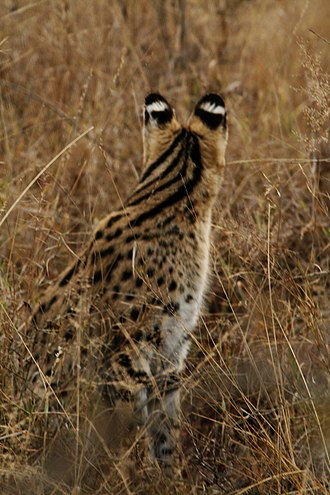 Serval - Serval has eyespots on the backs of its ears.