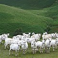Sheep at Llanddewi Brefi, in Ceredigion, Wales.jpg