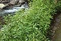 Shibataea kumasaca, 2012 Japan.jpg