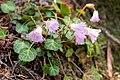 Shortia uniflora 06.jpg