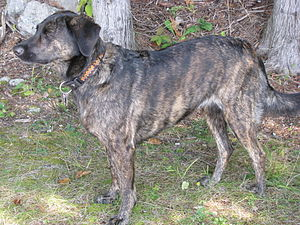 Feist Dog Breed Pictures