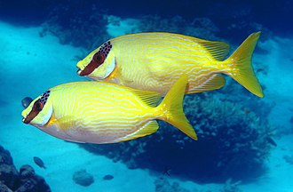 Rabbitfish - ''S. puellus'' (Masked spinefoots) with their foxface-like pattern