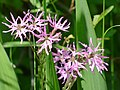 Silene flos-cuculi. Kwiat kukułki. 01.jpg