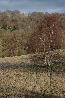 Silver Birch on Cranham Common - geograph.org.uk - 671279.jpg