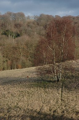 Silver Birch on Cranham Common - geograph.org.uk - 671279