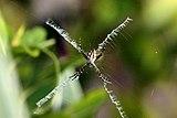 Silver argiope (Argiope argentata).jpg