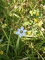 Sisyrinchium angustifolium RHu in a meadow.JPG