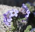 Sky pilot Polemonium eximium flowers Forester Pass.jpg