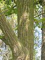 Slange esdoorn stam (Acer capillipes).jpg
