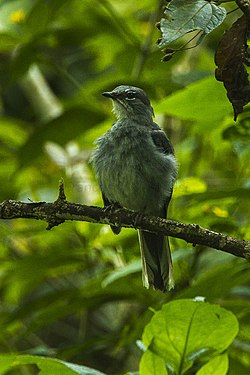 Slate-colored Solitaire - Mexico S4E7512 (17047366810).jpg