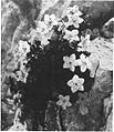 Slečnik (Rhodothamnus chamaecistus Rchb.) na Velem Polju 1939.jpg