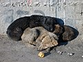 Sleeping Puppies in Ulaanbaatar.jpg