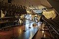 Slottsfjellsmuseet Museum Hvalhallen (Whale Hall) Tønsberg, Norway. Hvalskjeletter (Old skeletons) Finnhval (Fin whale 1895 left) Blåhval (Blue whale 27m 1900 middle) Spermhval (Sperm whale right) etc 2020-01-21 2267.jpg