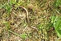 Slow-worm (NH Hrobka) (22194785418).jpg