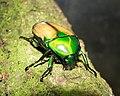 Smargdesthes africana smaragdina.JPG