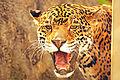 Smiling Jaguar Portrait (8231275312).jpg