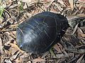 Snake-necked Turtle - Flickr - GregTheBusker.jpg
