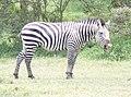 Sneezing zebra.jpg