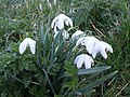 Snowdrops (Galanthus nivalis) - geograph.org.uk - 695870.jpg