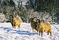 Soay Sheep in Elkstone - geograph.org.uk - 498293.jpg