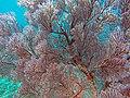 Soft coral (Bali) 2.jpg