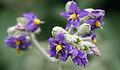 Solanum mauritianum04.jpg
