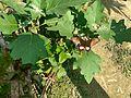 Solanum melongena flowers 07.jpg