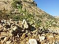 Solanum nitidibaccatum sl53.jpg