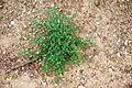 Solanum umalilaense PhytoKeys-016-065-g003D.jpg