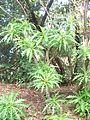 Sonchus canariensis.jpg