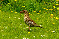 Song Thrush (Turdus philomelos) with worms in beak on grass.jpg