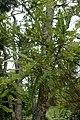 Sophora microphylla kz3.jpg
