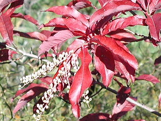 Oxydendrum - Image: Sourwood in autumn (foliage closeup)